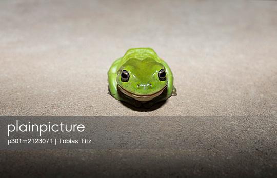 Portrait cute, tiny green tree frog - p301m2123071 by Tobias Titz