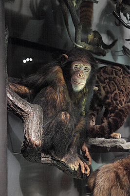 Stuffed chimpanzee in the natural history museum - p237m2128528 by Thordis Rüggeberg