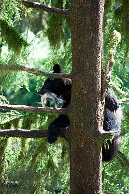 Black Bear juvenile climbing tree with captured Pink Salmon - p884m863712 by Matthias Breiter