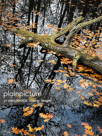 Fall color Oak Leaves in a pond reflecting trees - p1166m2090632 by Cavan Images