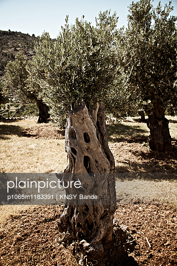 Olivenbäume auf Mallorca - p1065m1183391 von KNSY Bande