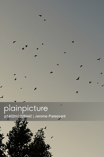 Flight of crows takes wings at twilight - p1402m2228442 by Jerome Paressant
