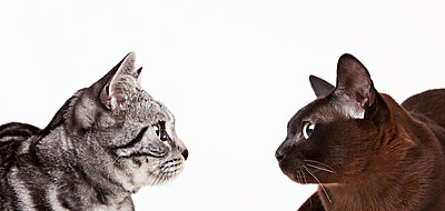 Cats looking at each other - p1023m930725f by Martin Barraud