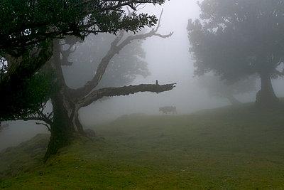 Lorbeerbaum und Kuh im Nebel - p9790070 von Kesler