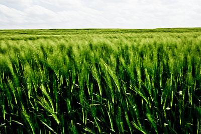 Barley field - p1221m1028486 by Frank Lothar Lange