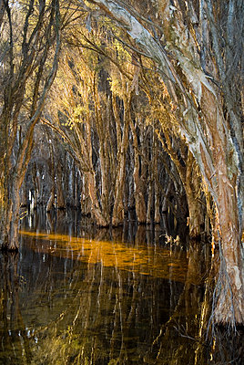 Flooded Swamp Trees - p1562m2278121 by chinch gryniewicz