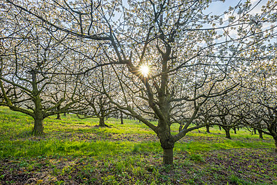 Germany, Saxony-Anhalt, Wernigerode, blossoming cherry trees in the evening - p300m2059544 by Patrice von Collani
