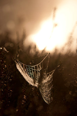 Spinnennetz im Heidekraut - p533m1194916 von Böhm Monika