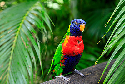 Colourful Coconut lorikeet (Trichoglossus haematodus), Deshaies Botanic Garden, Basse Terre, Guadeloupe, Leeward Islands, West Indies, Caribbean, Central America - p871m2209244 by Eleanor Scriven