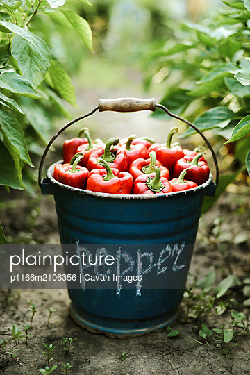 Red peppers from a basket full of peppers on farm - p1166m2106356 by Cavan Images