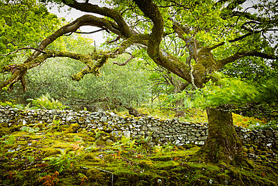 Old oak tree windy movement wind leaves dry stone wall dilapidated  - p609m2066432 by WALSH photography