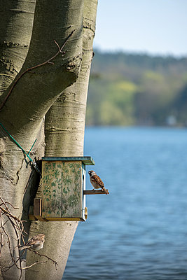 Sparrows inspecting nest box - p739m2077202 by Baertels