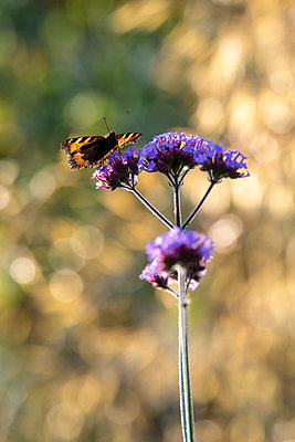 A colourful butterfly sitting and feeding on a purple Verbena flower head set against a bright garden scene. - p1057m2110476 by Stephen Shepherd