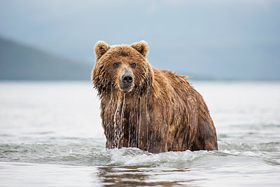 Kamchatka brown bear in lake, Kurile Lake, Kamchatka Peninsula, Russia - p301m1406191 by Kit Korzun