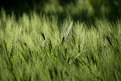 Close up of cereal plant - p343m1475720 by David Santiago Garcia
