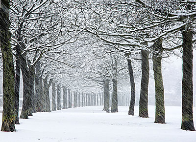 England, West Yorkshire, Halifax. Rows of trees at a park in falling snow. - p651m2006807 by Robert Birkby