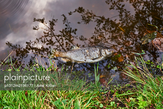 Dead fish on the shore of a lake in water - p1312m2196177 by Axel Killian