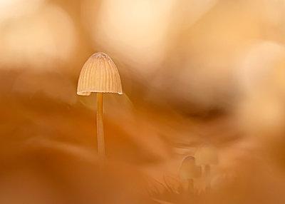 Close-up of growing mycena mushroom - p300m2197398 by Brigitte Stehle