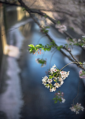 White blossoms, close-up - p312m2091299 by Pernille Tofte
