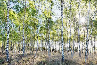 Birch trees in spring morning sunlight - p429m1469448 by Mischa Keijser