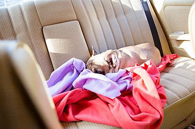 Hund schläft auf Rücksitz - p432m1124457 von mia takahara