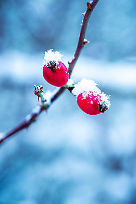Two snow covered red berries on a twig. - p1302m2254402 by Richard Nixon