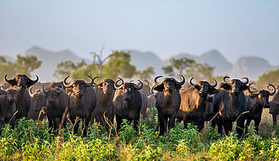 Uganda, Kidepo. One of many large herds of buffalo that can be seen in the Kidepo Valley National Park which covers 1,436  sq km of wilderness in the spectacular northeast of Uganda, bordering Southern Sudan. - p652m941689 by Nigel Pavitt