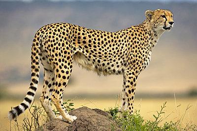 Cheetah on termite mound - p884m862988 by Winfried Wisniewski