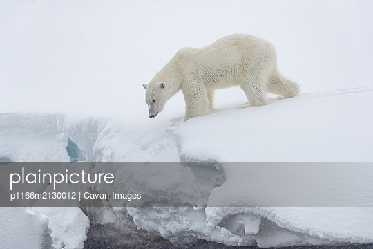 a polar bear stands on the edge of a snow ledge and looks down - p1166m2130012 by Cavan Images