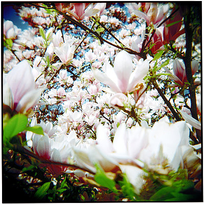 Magnolia blossoms - p9793590 by Muequin