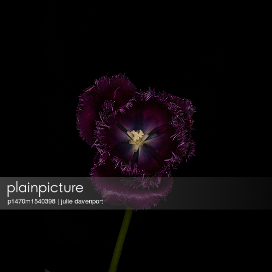 Tulip Fringed Gorilla - p1470m1540398 by julie davenport