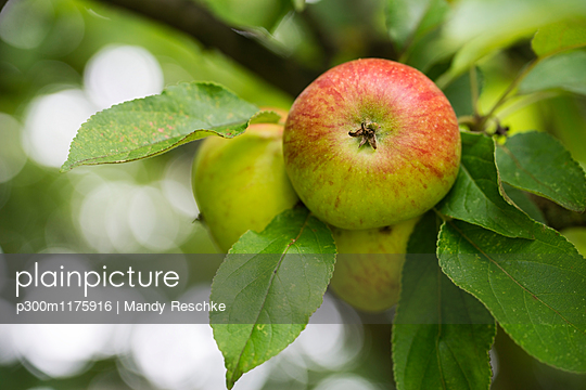 Apples growing on tree, close-up - p300m1175916 by Mandy Reschke