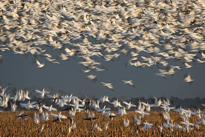 Snow Geese blast off from a field - p1480m2148222 by Brian W. Downs