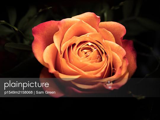 Rose mit Wassertropfen - p1549m2158068 von Sam Green
