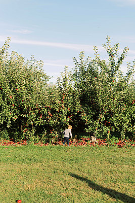 Young boy attempting to pick an apple at the orchard. - p1166m2151874 by Cavan Images