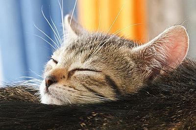 Domestic cat, kitten sleeping by mother, portrait, close-up - p3008541f by Dieter Heinemann