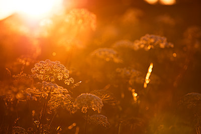 Plants at sunset - p312m2092123 by Emil Fagander