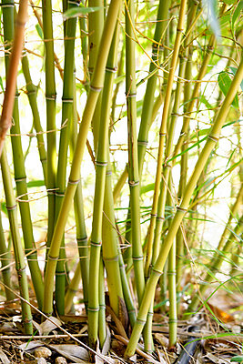 Bamboo - p7780068 by Denis Dalmasso