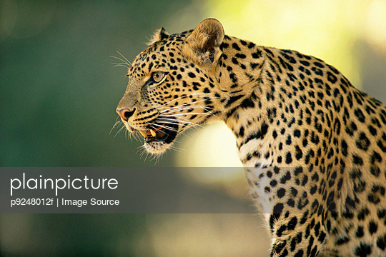Asian leopard - p9248012f by Image Source