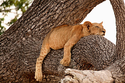 Lion cub sleeping in tree, Selous National Park, Tanzania, Africa - p924m805924f by David Fettes