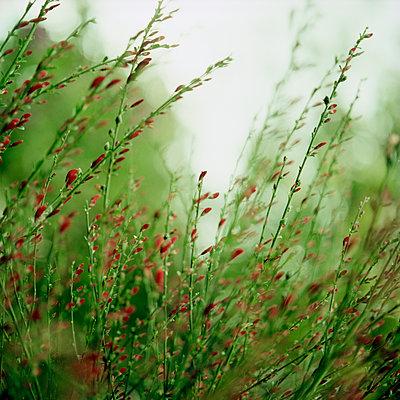 Roter Ginster - p989m2163917 von Gine Seitz