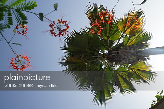Palm tree in blue sky - p1610m2181460 by myriam tirler