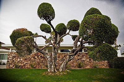 Trimmed tree - p584m960079 by ballyscanlon