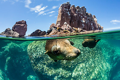 California sea lions (Zalophus californianus), half above and half below at Los Islotes, Baja California Sur, Mexico, North America - p871m1067017f by Michael Nolan