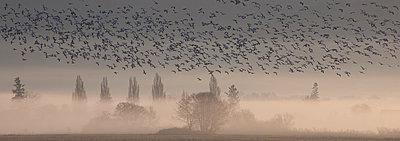Snow Goose flock flying above Skagit River flats - p884m864047 by Matthias Breiter