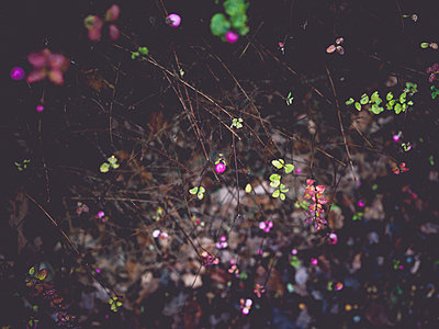 Pink snowberries at night - p1267m2064776 by Wolf Meier