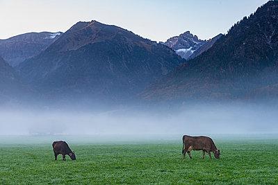 Germany, Bavaria, Allgaeu, cattles on an alpine meadow near Oberstdorf, morning fog - p300m2062902 by Walter G. Allgöwer
