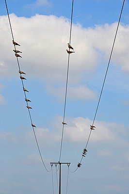 Pidgins on an electric cable - p8760127 by ganguin