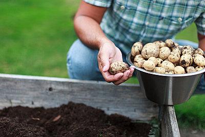 Man harvesting potatoes - p312m1533458 by Christina Strehlow