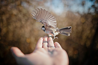 Flying bird on hand.  - p343m989224f by Christopher Kimmel photography